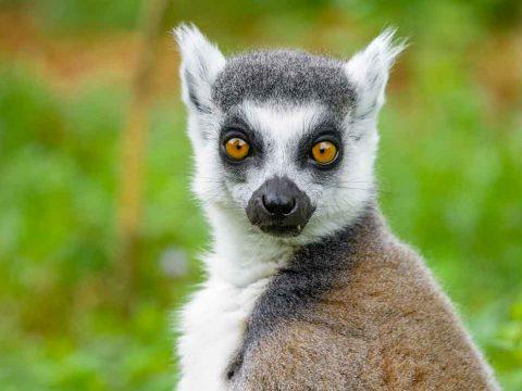 Dove vedere i lemuri in Madagascar