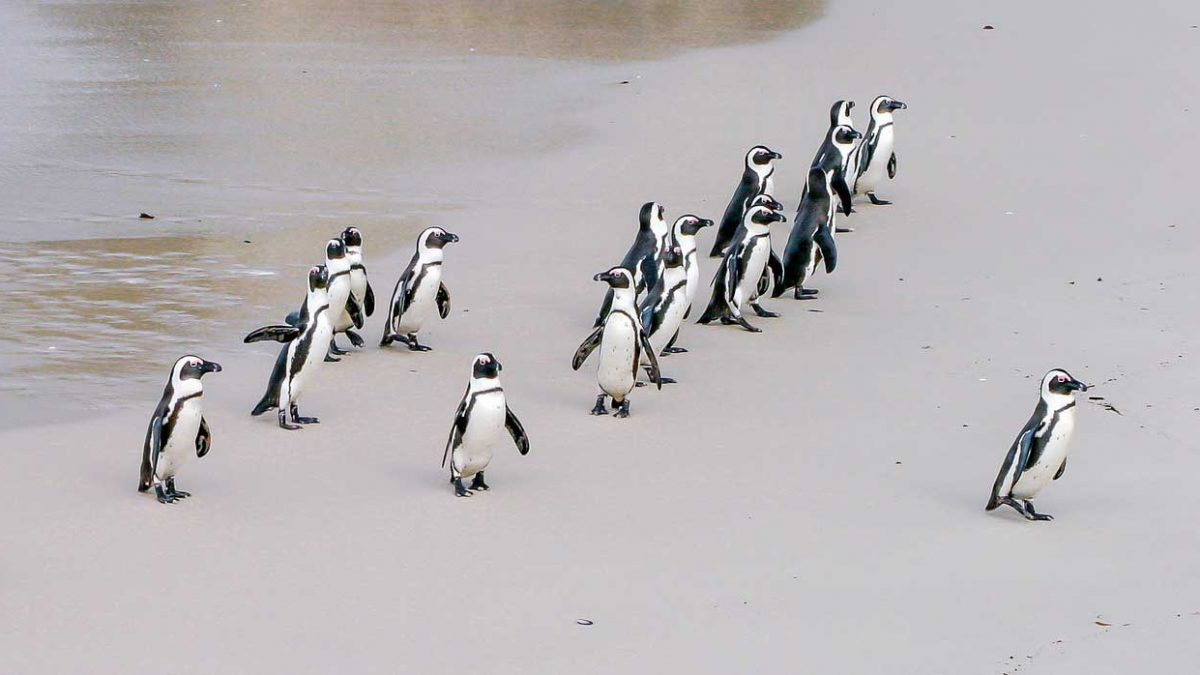 I pinguini di Boulders Beach