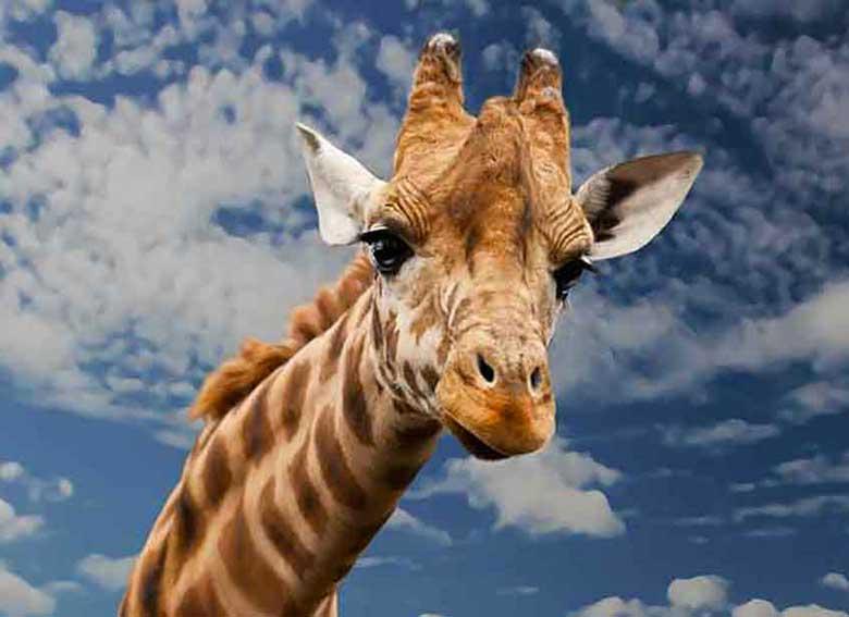 1-giraffa_art_box