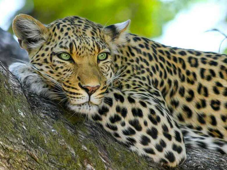 1-leopardo